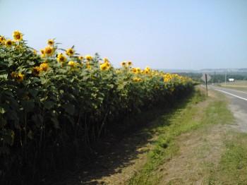sunflowersmt.jpg